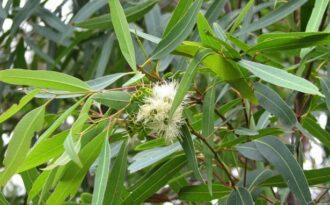 Eucalipto Propiedades Y Beneficios Plantas Medicinales