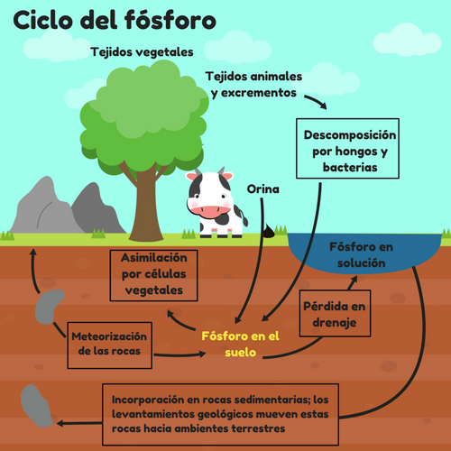 Ciclo del fósforo gráfico