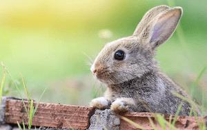 Conejo como mascota