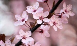 Flores de cerezo - flores para regalar