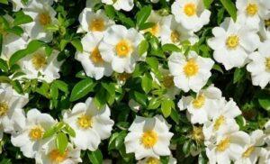 Gardenias - flores para regalar