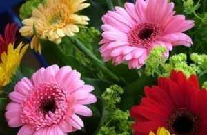 Gerberas - flores para regalar