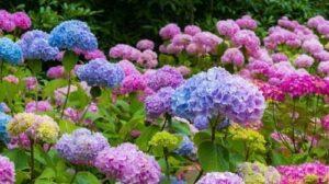 Hortensias - flores para regalar