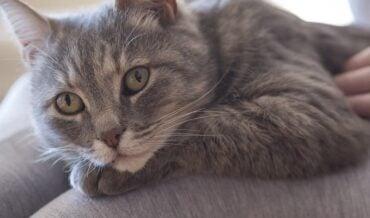 Inmunodeficiencia Felina, VIF o SIDA en Gatos