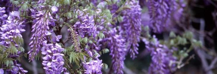 Planta Glicinia
