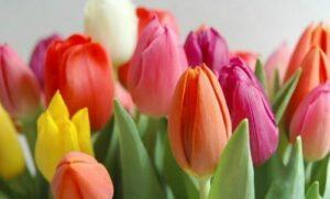 Tulipanes  - flores para regalar
