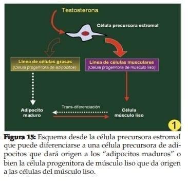 Célula precursora estromal