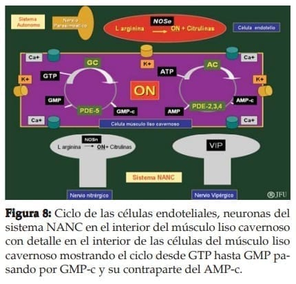 Ciclo de las células endoteliales, neuronas del sistema NANC