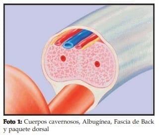 Cuerpos cavernosos, Albugínea, Fascia de Back y paquete dorsal