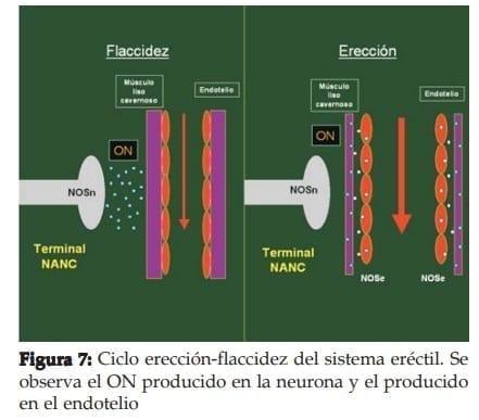 Ciclo erección-flaccidez del sistema eréctil
