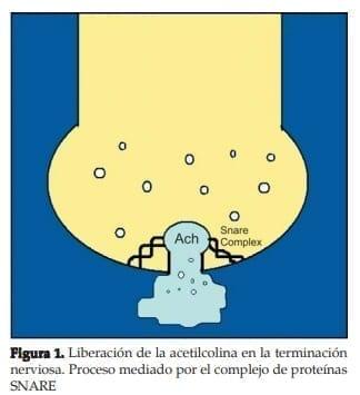 Liberación de la acetilcolina en la terminación nervios