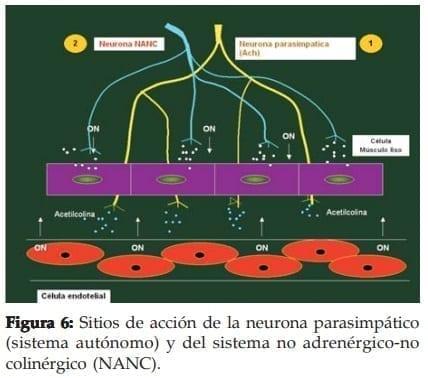 Sitios de acción de la neurona parasimpático