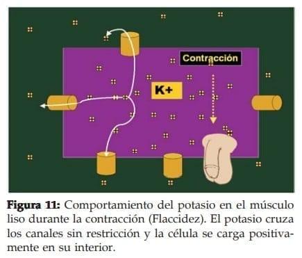 Potasio en el músculo liso durante la contracción