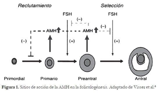 Sitios de acción de la AMH en la foliculogénesis