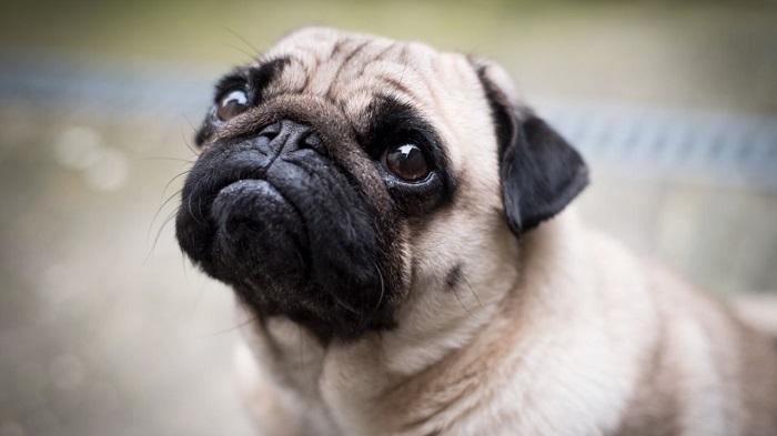Perros Braquiocefálicos: Características y Cuidados