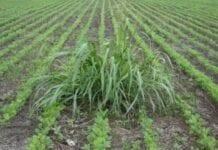Maleza en la agricultura o jardineria