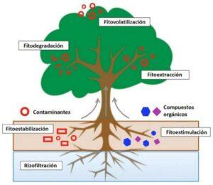 Fitorremediación diagrama