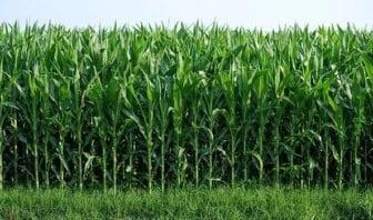 Condiciones del Cultivo de la Caña de Azúcar