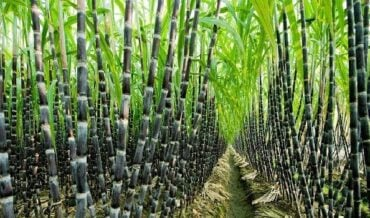 Cultivo de la Caña de Azúcar