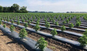 Cultivo de CBD o cáñamo legal