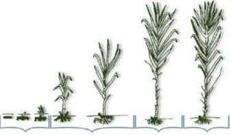 Periodo Vegetativo de la Caña de Azúcar