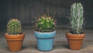 Feng Shui Cactus