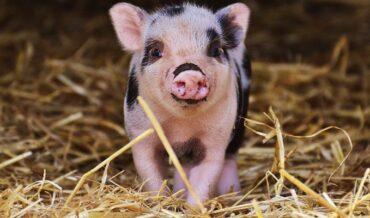 Alimentos Naturales para Mini Pig
