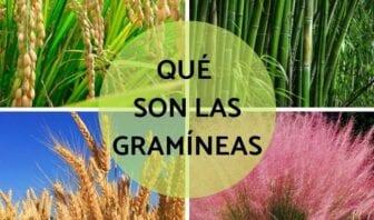 Gramíneas