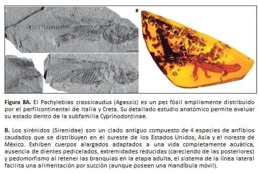 El Pachylebias crassicaudus (Agassiz)
