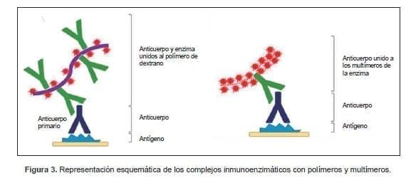 Complejos inmunoenzimáticos con polímeros y multímeros