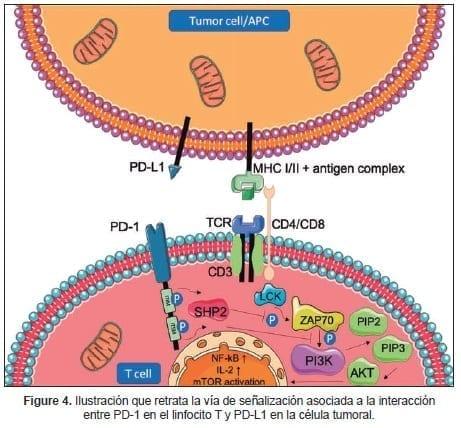 Vía de señalización asociada a la interacción entre PD-1 en el linfocito T y PD-L1