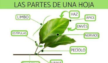 Las partes de las hojas