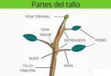 Partes del Tallo