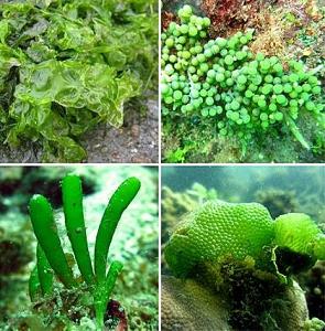 Tipos de algas verdes