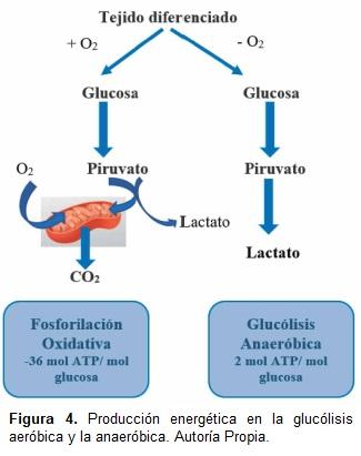 Producción energética en la glucólisis aeróbica y la anaeróbica