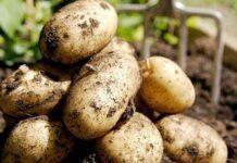 Cultivo de Papa o Patata